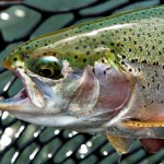 Missoui River Rainbow Trout