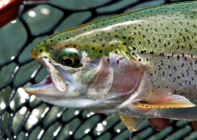 A Long Fling with Montana Fly Fishing